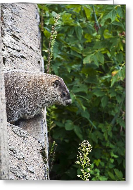 Groundhog Digital Greeting Cards - Groundhog Day Greeting Card by Bill Cannon
