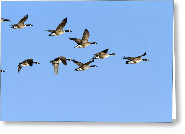 Synchronicity Greeting Cards - Group Of Canada Geese In Flight. Branta Greeting Card by Philippe Henry