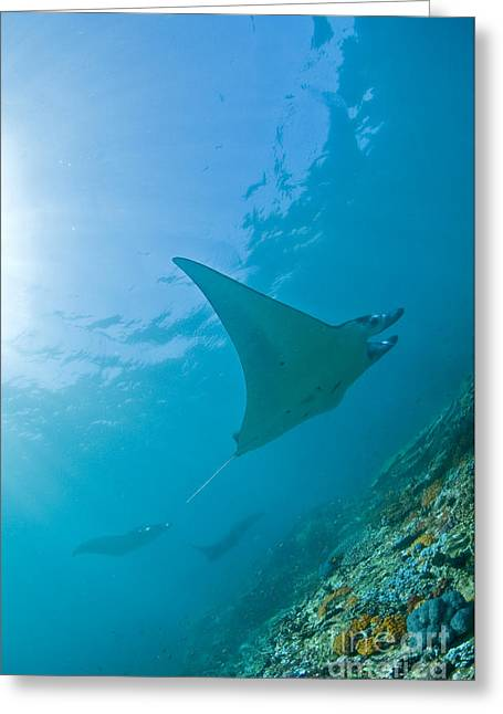 Manta Rays Greeting Cards - Group Of Manta Rays In Blue Water Greeting Card by Mathieu Meur