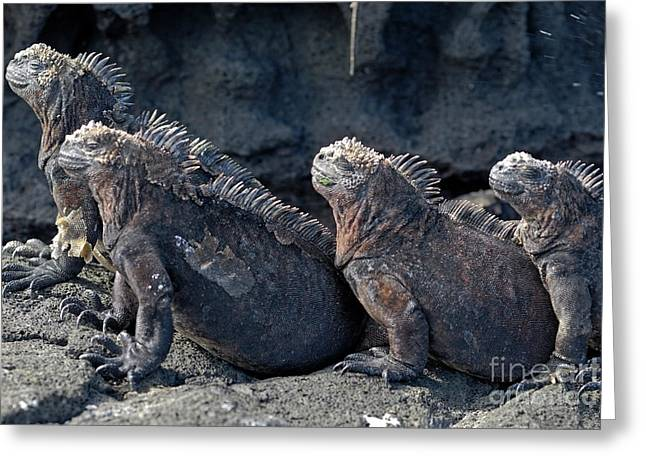 Toughness Greeting Cards - Group of Marine Iguana lying on rock Greeting Card by Sami Sarkis