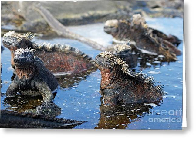 Sami Sarkis Greeting Cards - Group of Marine Iguana Greeting Card by Sami Sarkis