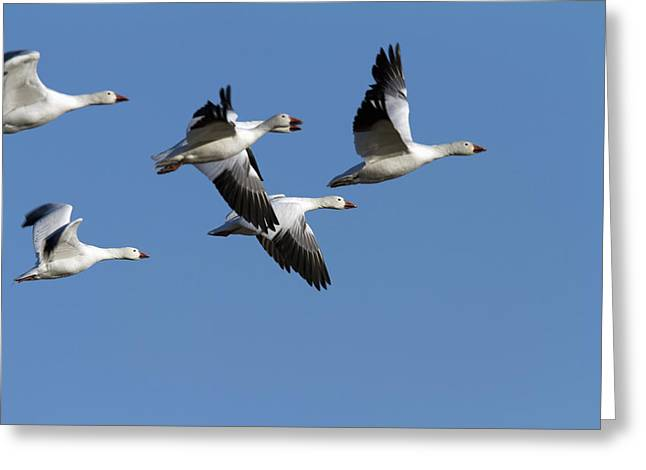 Synchronicity Greeting Cards - Group Of Snow Geese In Flight. Chen Greeting Card by Philippe Henry