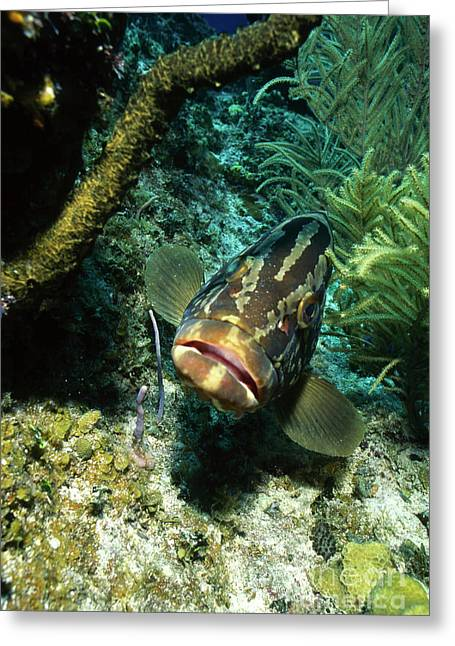 Grouper Greeting Cards - Grouper, Cayman Brac, Cayman Islands Greeting Card by Beverly Factor