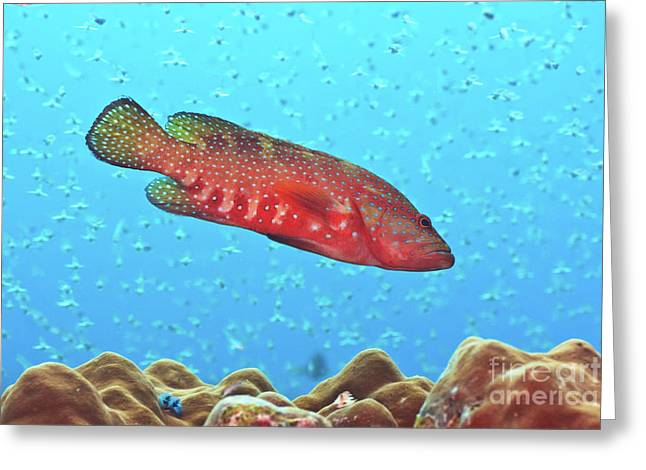 Grouper Greeting Cards - Grouper Greeting Card by MotHaiBaPhoto Prints