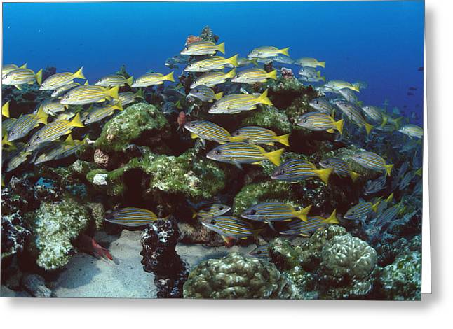 Grunts Greeting Cards - Grunt School Along Coral Reef Cocos Greeting Card by Flip Nicklin