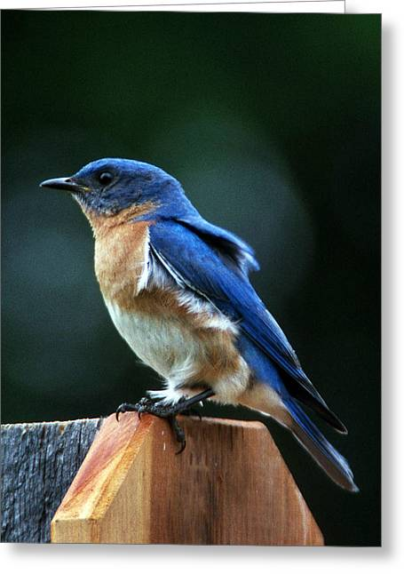 Photos Of Birds Greeting Cards - Guard At Work Greeting Card by Skip Willits