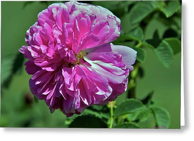Desiree Rose Greeting Cards - Guida Desiree Greeting Card by Stephen  Johnson