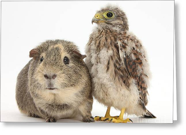Mixed Species Greeting Cards - Guinea Pig And Kestrel Chick Greeting Card by Mark Taylor