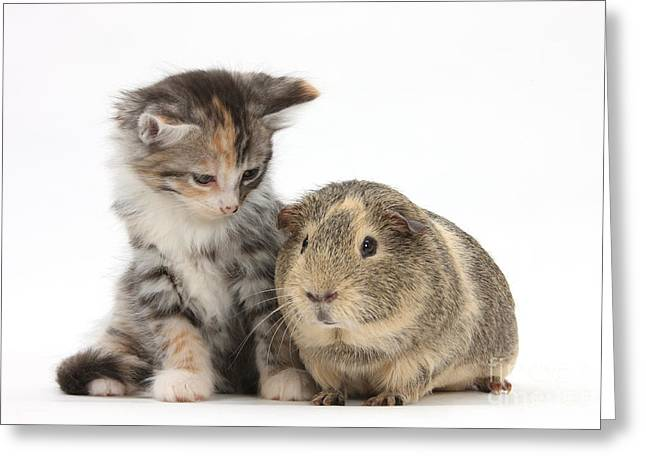 Old Maine Houses Greeting Cards - Guinea Pig And Maine Coon-cross Kitten Greeting Card by Mark Taylor