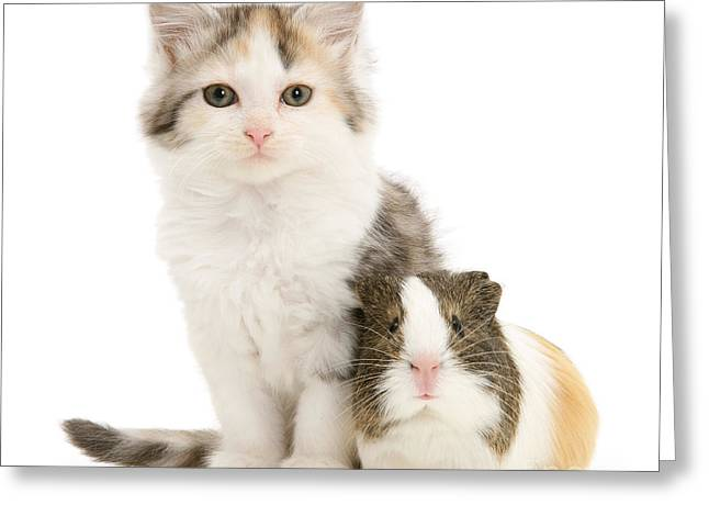 Cavy Greeting Cards - Guinea Pig And Maine Coon Kitten Greeting Card by Jane Burton