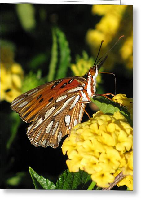 Flower Photos Greeting Cards - Gulf Fritillary Greeting Card by Amy Tyler