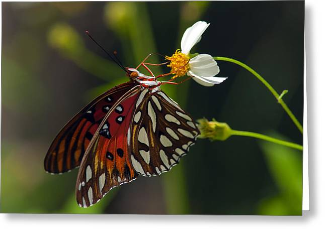 Recently Sold -  - Marble Eye Greeting Cards - Gulf Fritillary Greeting Card by Melanie Viola