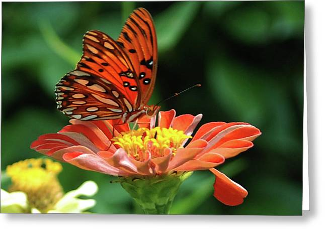 Insect Greeting Cards - Gulf Fritillary on Zinnia Greeting Card by Kelly Rader