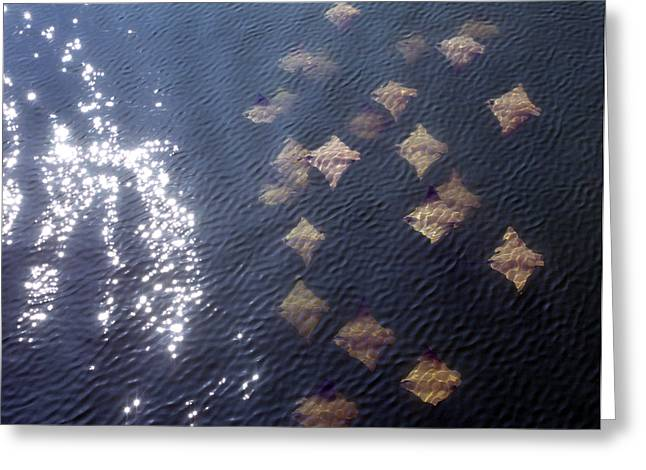 David Yunker Greeting Cards - Gulf Stingrays Greeting Card by David Yunker