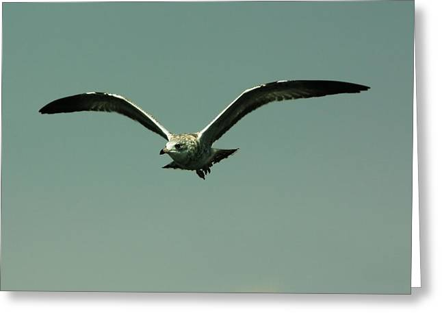 Flying Seagull Greeting Cards - Gull in Flight 2 Greeting Card by Marjorie Imbeau
