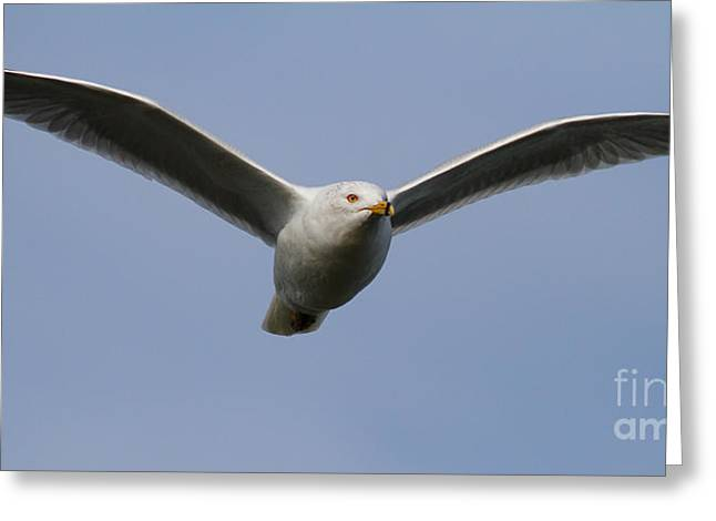 Flying Seagull Greeting Cards - Gull In Flight . 7D12082 Greeting Card by Wingsdomain Art and Photography