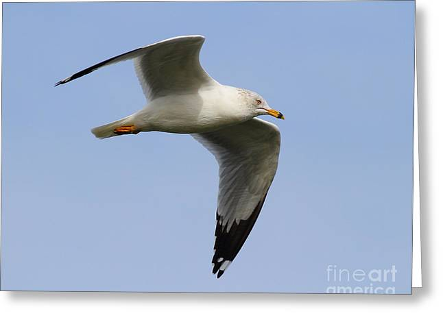 Water Fowl Greeting Cards - Gull In Flight . 7D12084 Greeting Card by Wingsdomain Art and Photography