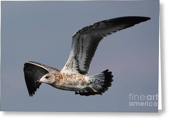 Gull in Flight Greeting Card by Marjorie Imbeau