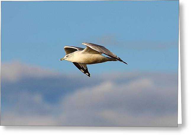 Kevin Schrader Greeting Cards - Gull Greeting Card by Kevin Schrader