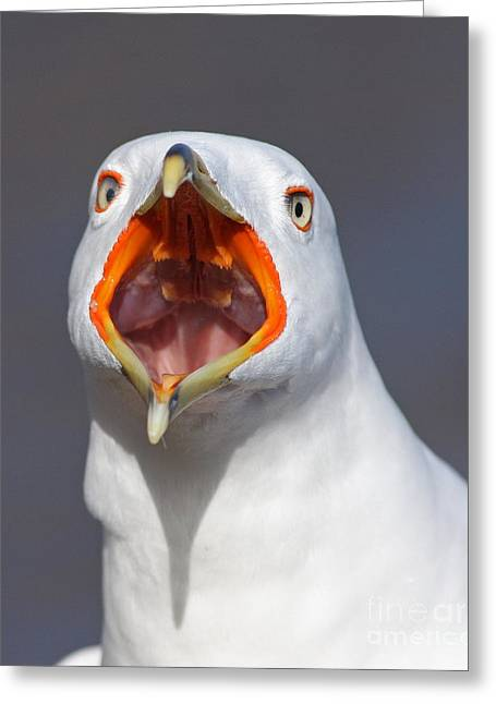 Creapy Greeting Cards - Gull Portrait Greeting Card by Mircea Costina Photography