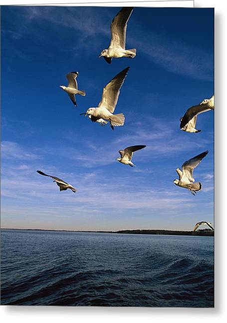 Animals In Action Greeting Cards - Gulls In Flight Greeting Card by Steve Winter