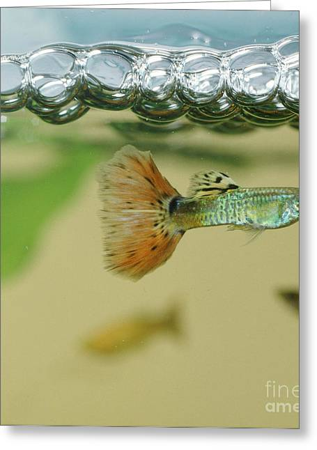 Aquarium Fish Greeting Cards - Guppy Greeting Card by Jane Burton
