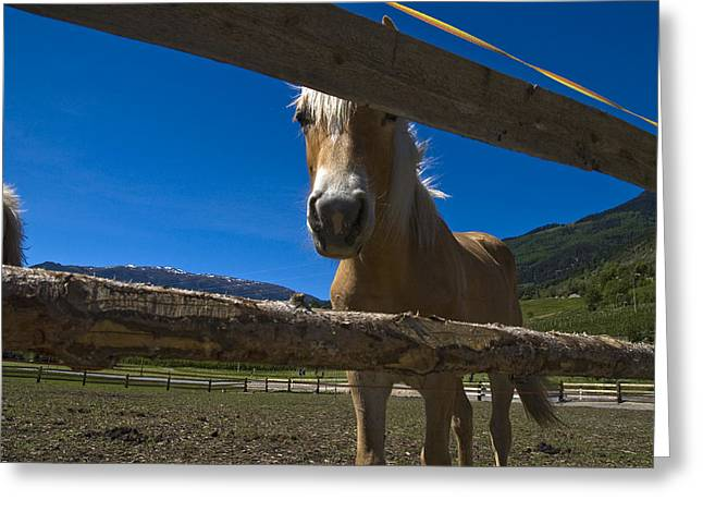 Horse Images Greeting Cards - Haflinger Horse Looks Through A Fence Greeting Card by Todd Gipstein