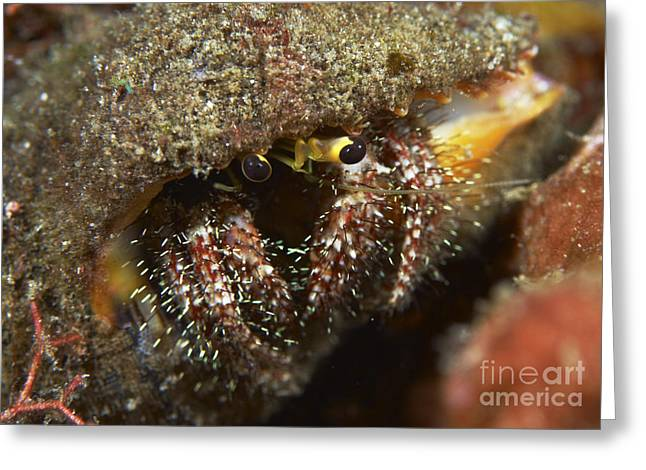 Emergence Greeting Cards - Hairy-legged Hermit Crab Emerging Greeting Card by Mathieu Meur