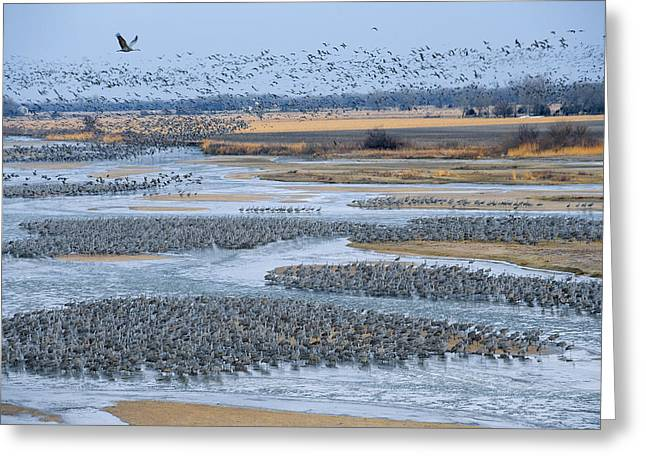 Flying Animal Greeting Cards - Half A Million Sandhill Cranes Roosting Greeting Card by Joel Sartore