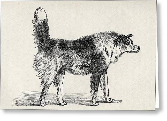 Bred Greeting Cards - Half Bred Shepherd Dog With Hostile Greeting Card by Ken Welsh