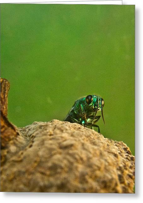 Irridescent Greeting Cards - Halicid Wasp 2 Greeting Card by Douglas Barnett