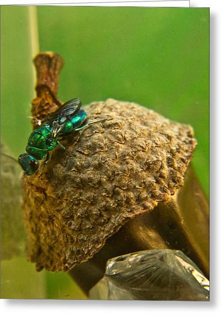 Irridescent Greeting Cards - Halicid Wasp 4 Greeting Card by Douglas Barnett