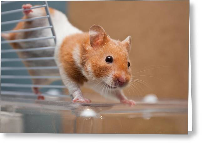 Vet Photographs Greeting Cards - Hamster Greeting Card by Tom Gowanlock