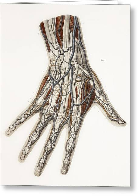 Vol Greeting Cards - Hand Anatomy, 19th Century Illustration Greeting Card by
