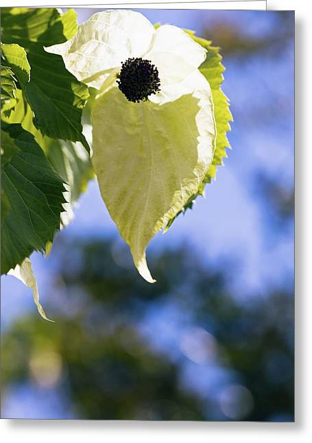 Handkerchief Greeting Cards - Handkerchief Tree (davidia Involucrata) Greeting Card by Dr Keith Wheeler
