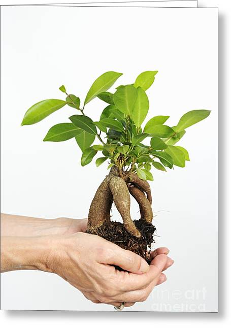 Women Only Greeting Cards - Hands holding a Ginseng Ficus bonsai Greeting Card by Sami Sarkis