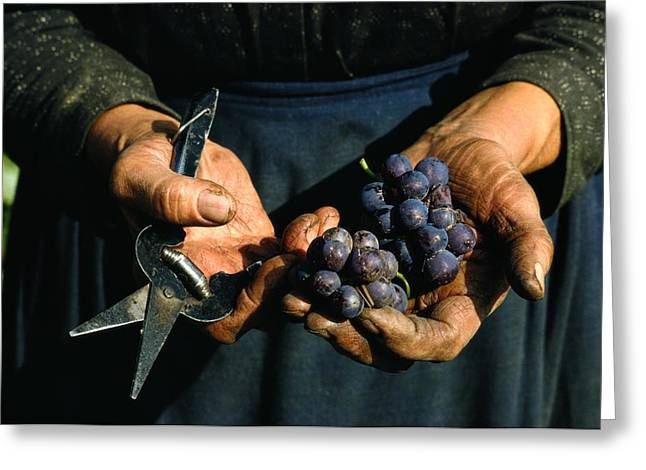 Food Industry And Production Greeting Cards - Hands Holding Muscatel Grapes Greeting Card by James P. Blair