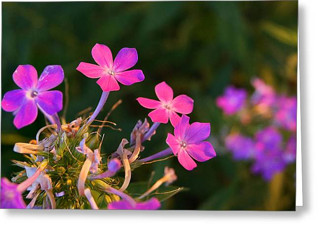 Purple Phlox Greeting Cards - Hands Lifted High Greeting Card by Bill Pevlor