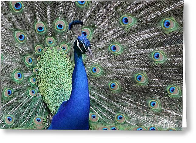 Irridescent Greeting Cards - Handsome Peacock Greeting Card by Sabrina L Ryan