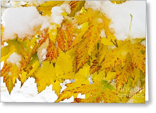 Snow Tree Prints Greeting Cards - Hanging Autumn leaves with Snow Greeting Card by James BO  Insogna
