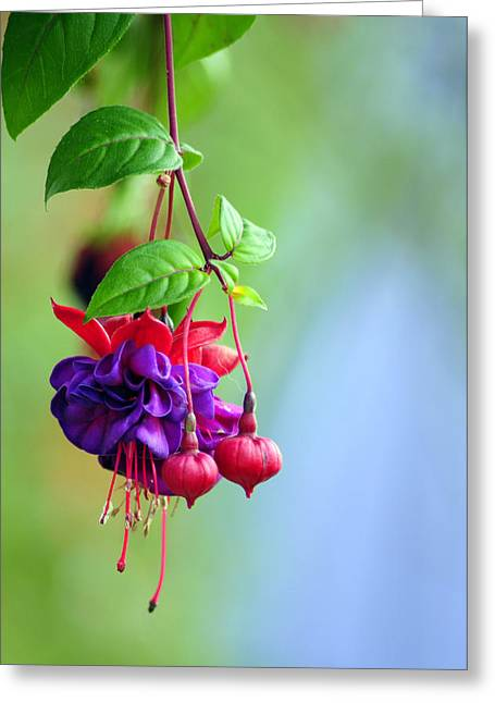 Card Stock Greeting Cards - Hanging gardens Fuschia Greeting Card by Laura Mountainspring