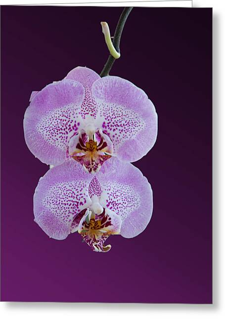 Orchids Digital Art Greeting Cards - Hanging Orchids Greeting Card by Matthew Bamberg