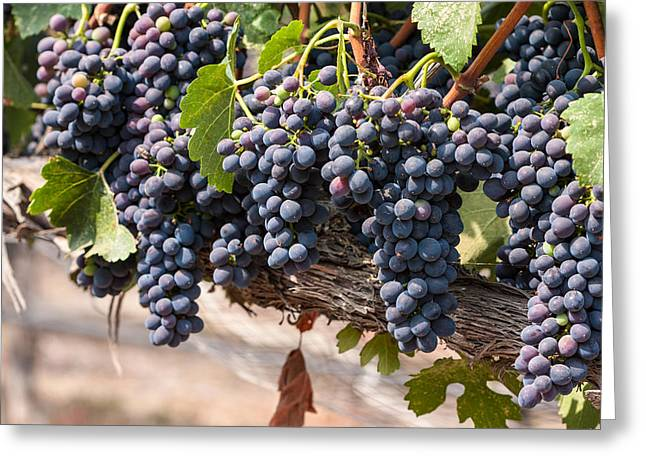 Hanging Wine Grapes Greeting Card by Dina Calvarese