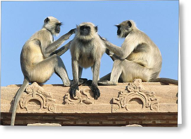 Cooperation Greeting Cards - Hanuman Langurs Grooming Greeting Card by Cyril Ruoso