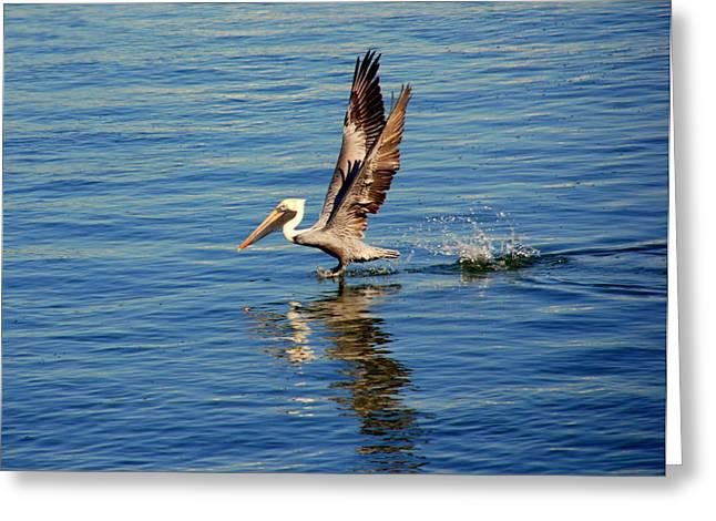 Pelican Landing Greeting Cards - Happy Landing Pelican Greeting Card by Susanne Van Hulst