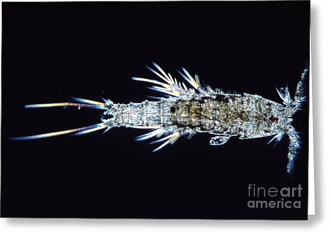Light Magnifications Greeting Cards - Harapticoid Copepod Greeting Card by M. I. Walker