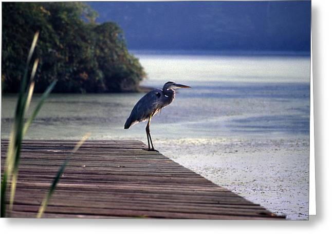 Photos Of Birds Greeting Cards - Harbor Master Greeting Card by Skip Willits
