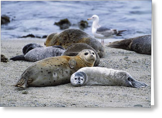 Moss Landing Harbor Greeting Cards - Harbor Seal and Pup Greeting Card by Suzi Eszterhas