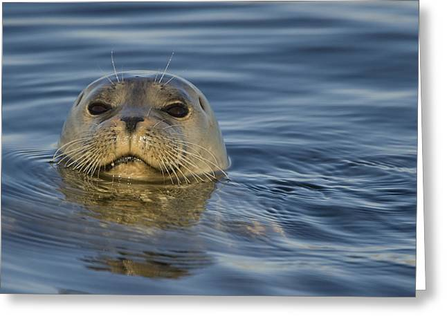 Monterey Bay Image Greeting Cards - Harbor Seal  Elkhorn Slough Monterey Greeting Card by Sebastian Kennerknecht
