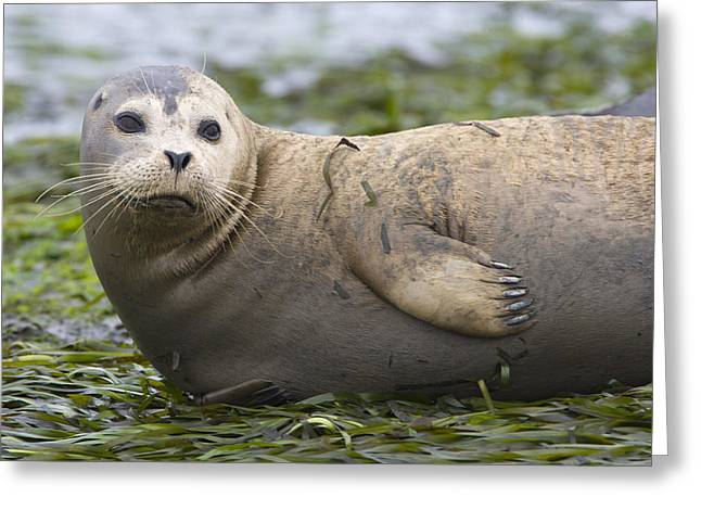 Monterey Bay Image Greeting Cards - Harbor Seal Monterey Bay California Greeting Card by Suzi Eszterhas